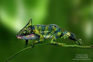 chameleon-web